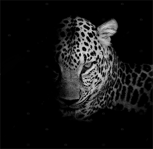 depositphotos_80553550-stock-photo-black-white-leopard-portrait-isolate
